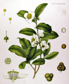Camellia S-025