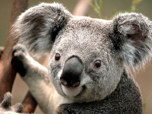 Cute Koala, climbs trees, can you?