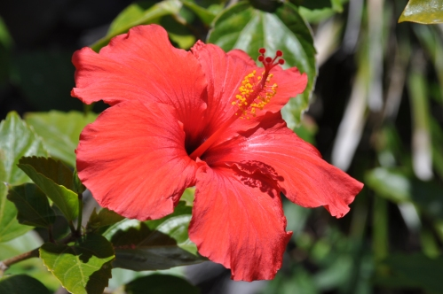 Red Hibiscus in noon Sun