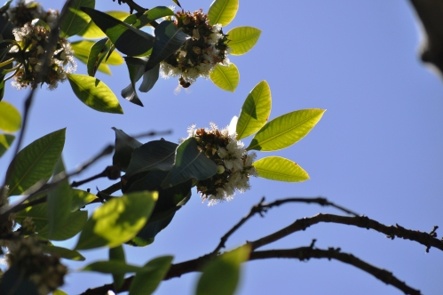 Rynerson Park: Flowers in trees and a few bees-1