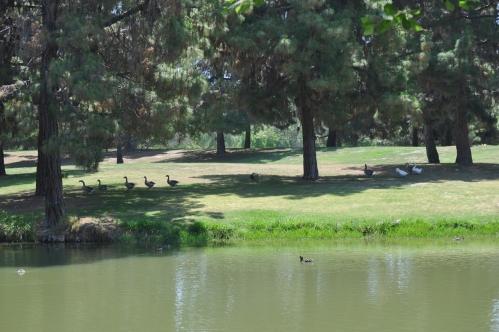 El Dorado Park: Geese on Patrol