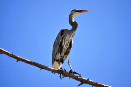 Great Gray Heron-Eldorado Park-1