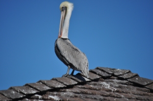 Pelican Modeling on Huntington Beach (HB) Pear: November 27, 2011 (a perfectly sunny day)