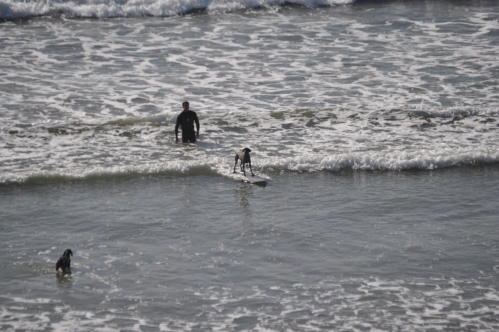 the surfing dog