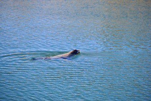 Playful Seal (San Gabriel River in Seal Beach)