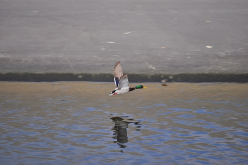 Duck's Elegant flight (my nature photography)