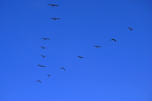 Pelicans flying in formation (my life photography)