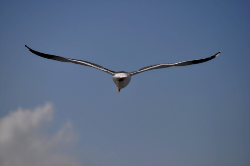 The Sea Gull: Sky Ballerina