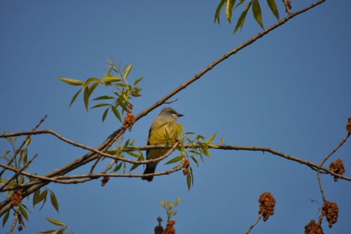 Yellow bird (A little bigger than a tennis ball and quite as fast to get out of sight too)
