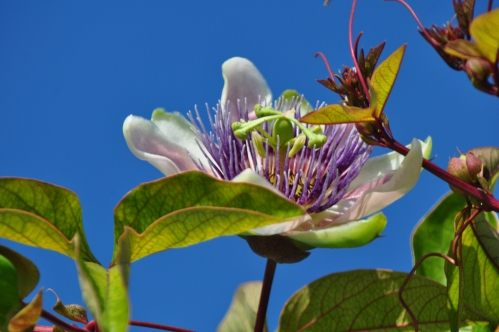 New Passion Flower February 25, 2012 (liberty Park Cerritos) (my nature photography)
