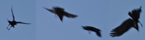 ravens -  flight or fight