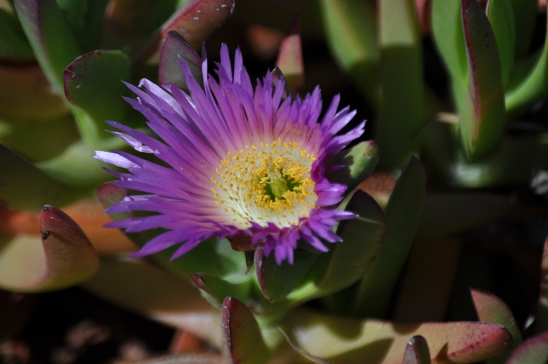 Huntington Beach Wild Flowers (my photographic memoirs)