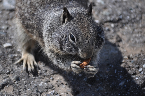 Almo,  the ground squirrel, gets his almond from my hand (My photographic memory)