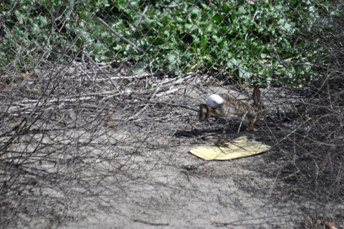 Bunny the rabbit:  always on alert! (my photographic memoir)