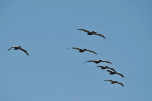 fly one, fly all: Pelicans