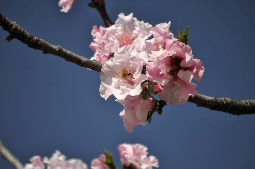 Of Cherry Tree Flowers and Bees (El Dorado Park)