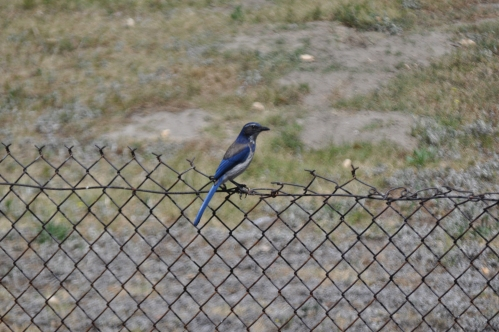 Blue Bird at Wilderness Park