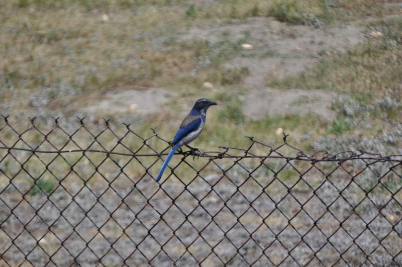 Blue Bird at Wilderness Park