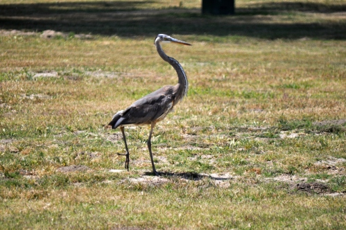 Great Gray Heron at El Dorado Park  (my photographic memoirs)