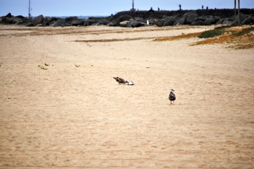 Scavenging (or falling on hard times) At Seal Beach (my photography)