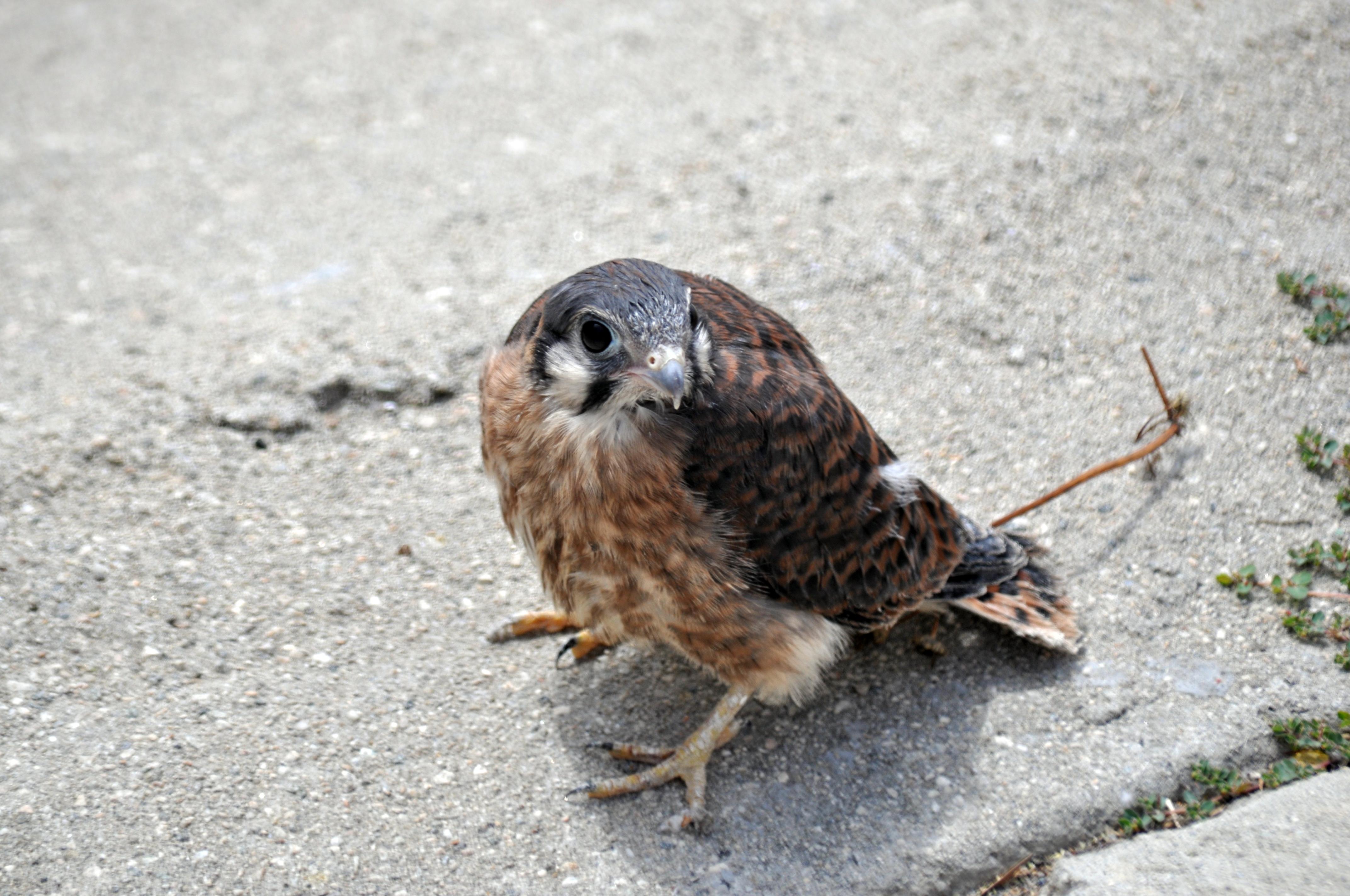 baby hawk hawk clipart free hawk clipart free
