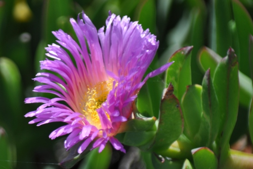 Ice-plant Flower (my photography)