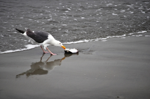 Seagull and stingray (Never refuse a free meal?)