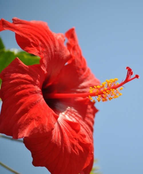 Hibiscus @ River end's Cafe, Seal Beach ( my photography)