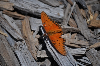 butterfly on wood chips