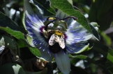 Bumble bee on passion Flower Coveren in polen
