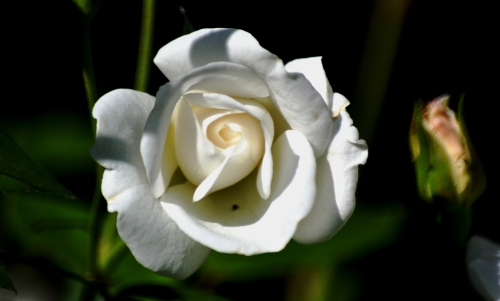 White rose @ Wilderness Park, Cerritos, California (my photography)