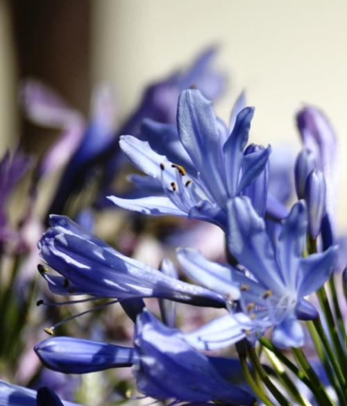 More  Agapanthus flowers @ Liberty Park in Cerritos, California: Enjoy! (my photography)