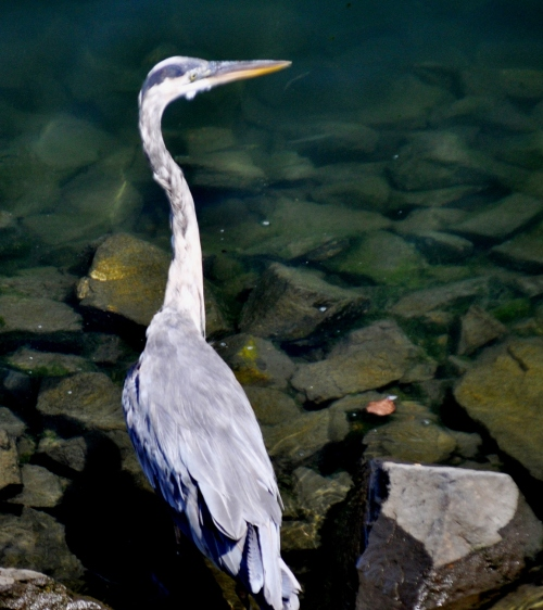 Great Gray Heron @ San Gabriel River Mile 2.5