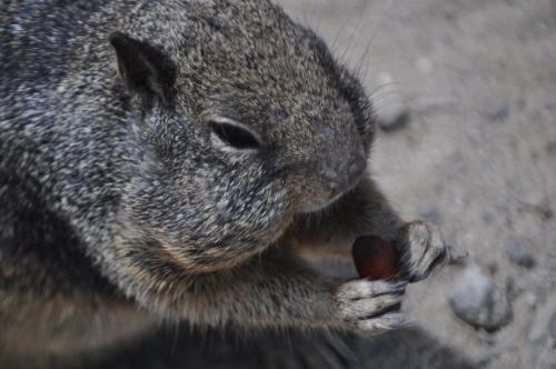 "Ground Squirrel @ Huntington Beach: ""Hmm, so this is an almond...Love it!"""