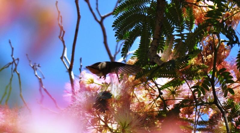 California Hummingbird