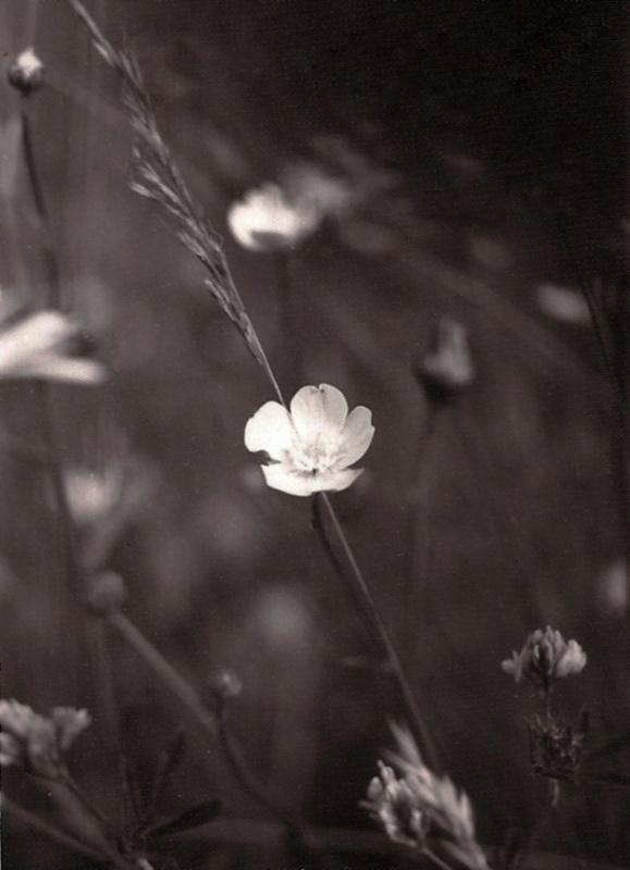 Floare de lunca-Breaza-1981