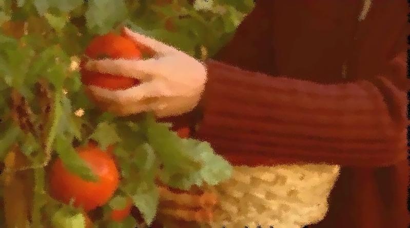 McLeod's Daughters_Fresh Tomatos Picking
