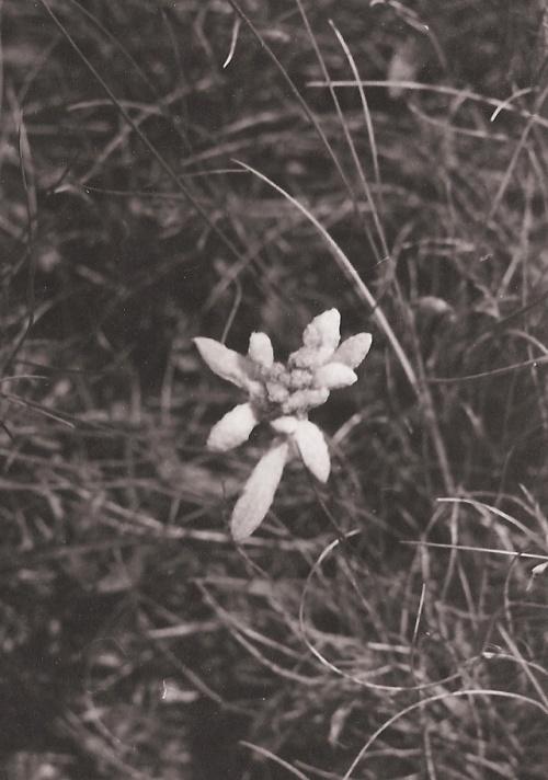 Edelweiss Coltii Morarului-bucegi 1979