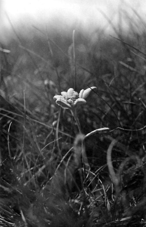 Edelweiss Coltii Morarului-bucegi-2 1979
