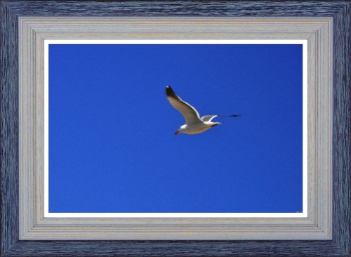 Seagull in Flight_-_oil Color Pastel (My Art Collection)