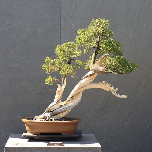 Bonsai - California -Juniper