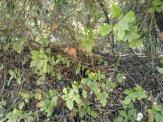 More poison oak...