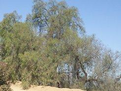 Wild Peeper tree, delicious peeper corns