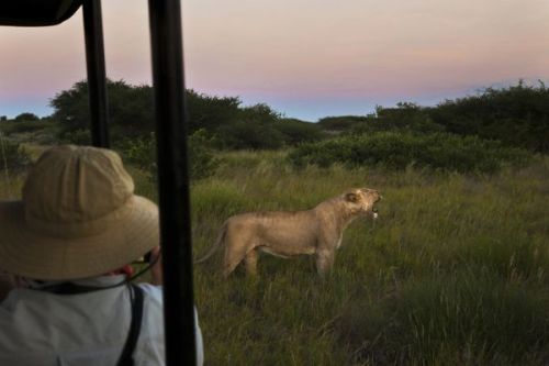Why Are We Still Hunting Lions?