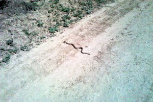 Rattle snake crossing: YIELD!