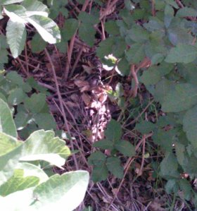 same snake well hid in the bush