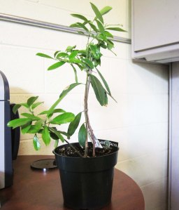 Yerba_mate_young_plant (Ilex Paraguariensis)