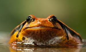 frog-208591_640