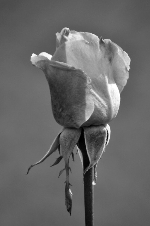 Rose in shades of gray