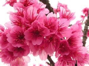 Sakura- Cherry Blossom